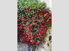 Red Flowers On Climbing Plant Royalty Free Stock Photo ... House With Garden Clipart
