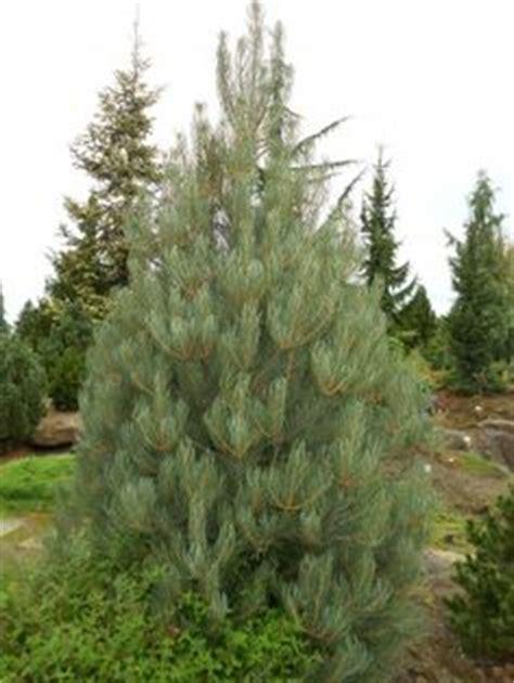 pinyon pine our colorado christmas tree christmas