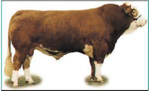 Pin largest chianina cattle breeds on pinterest