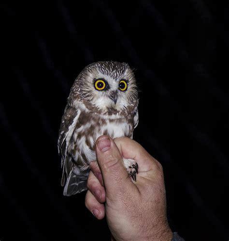 saw whet northeast pennsylvania audubon society