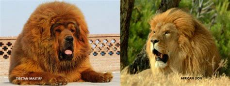 dogs that look like lions 11 dogs that look like animals pethelpful