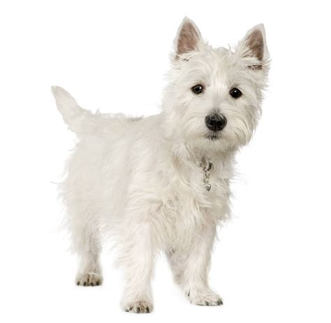 small white puppy 5 of the best small white breeds practical paw the toolkit
