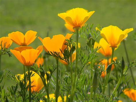 california poppy poppy seeds california poppy decker rd seeds