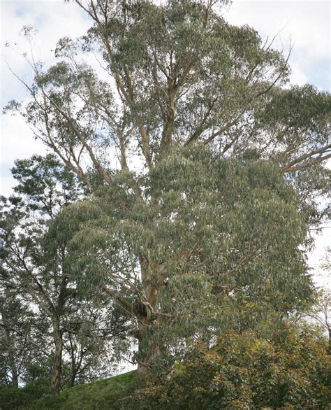 eucalyptus trees trees of protection where the moths dance