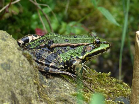 Garden Frogs by Free Images Nature Lake Animal Wildlife Reptile