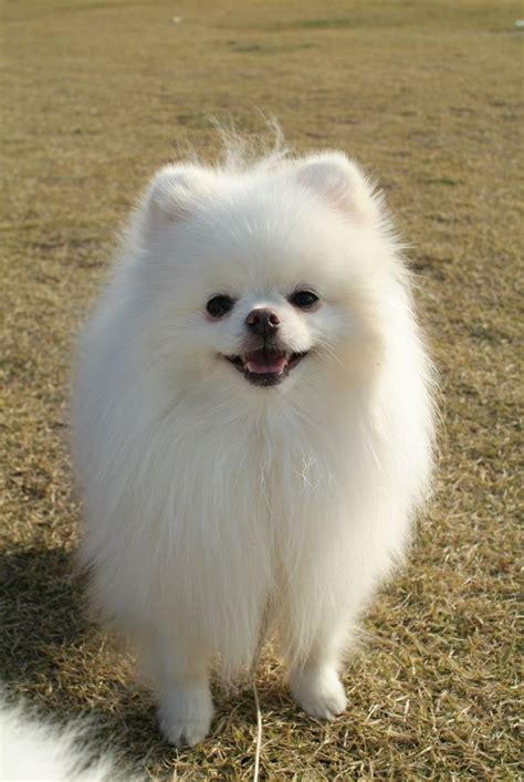 white miniature pomeranian 25 best ideas about white pomeranian on white pomeranian puppies