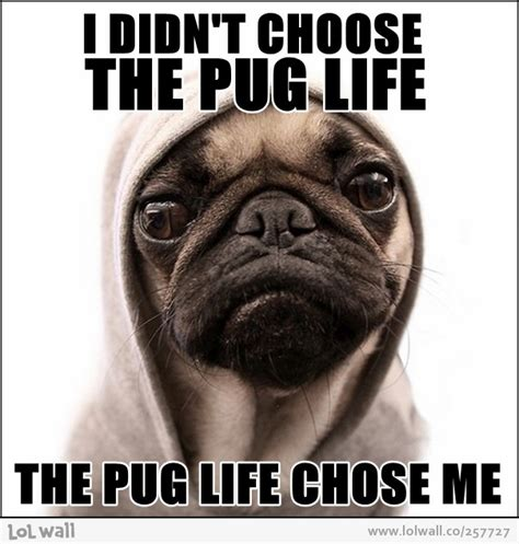 lifespan for pugs welcome to memespp