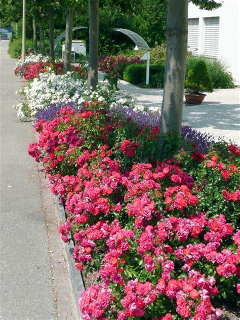 pflegeleicht gartenpflanzen pflegeleichte gartenpflanzen winterhart spinjo info