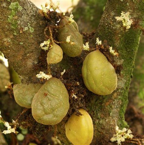 tanaman nam nam kopi anjing tanaman buah