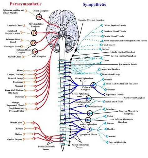 diagram of autonomic nervous system 21 best nervous system diagram for images on