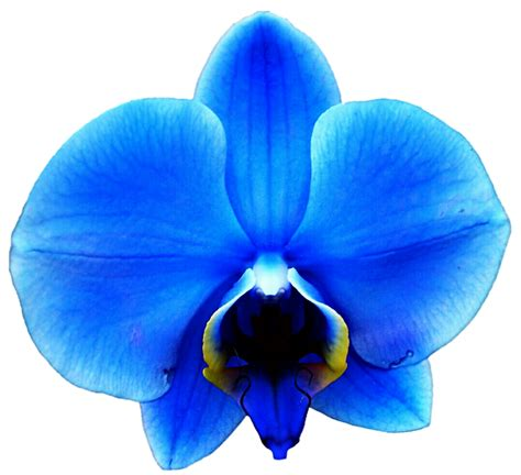 blue orchid light royal blue orchid by jeanicebartzen27 on deviantart