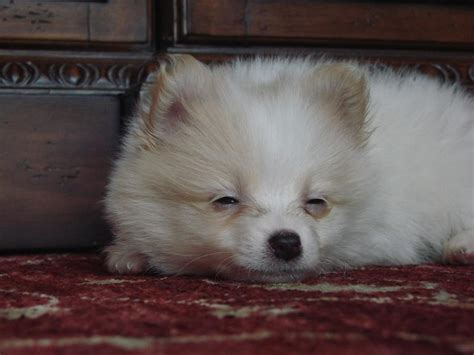 sleepy pomeranian sleepy pomeranian pup jpg 1 comment hi res 720p hd