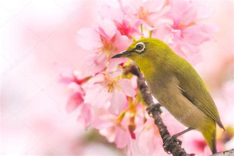 immagini fiori di ciliegio giapponese un uccello di occhialino giapponese in fiori di ciliegio