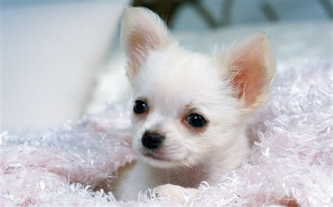 white chihuahua puppies white chihuahua wallpapers and images wallpapers pictures photos
