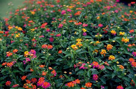 size of lantana plants flowers 187 lantana camara