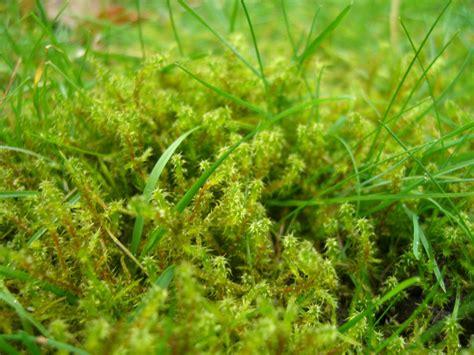 Moos Im Rasen Was Tun 4355 by Was Tun Bei Zu Viel Moos Im Rasen Phlora De