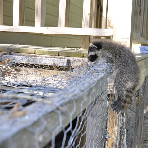 Cheap Backyard Fence What Do I Need To Know About Raccoons If I Keep Chickens