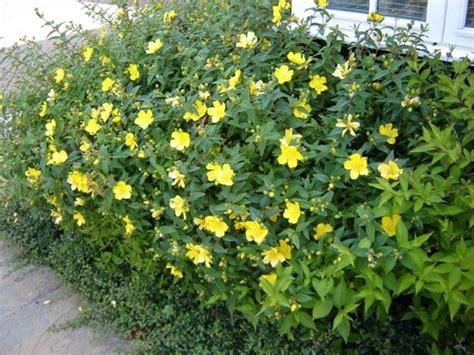 cespuglio fiorito manutenzione giardini giardinaggio come tenere in