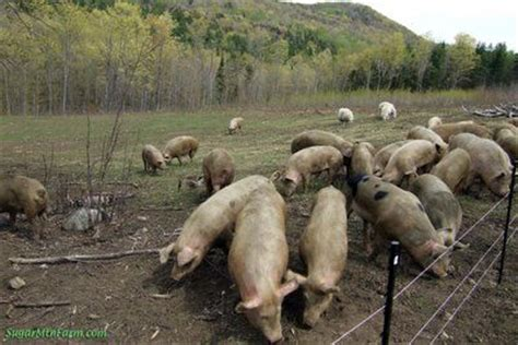 Backyard Pig Farming by 90 Best Farmin Images On Sheep At Home And