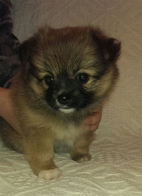 pomeranian puppies for sale east pomeranian puppy for sale east pets4homes