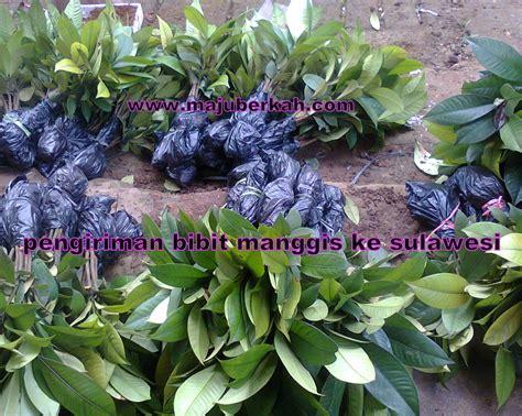 Bibit Manggis bibit tanaman murah jenis jenis tanaman memilih tanaman unggul