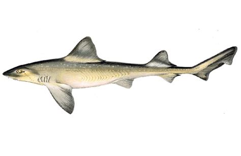 cucinare palombo specie ittiche in cucina palombo mustelus mustelus