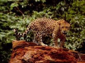 Jaguar Of Jaguar Panthera Onca Dinosaur Archives