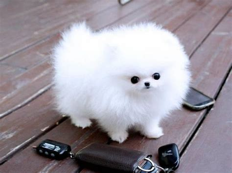 rescue teacup pomeranian pomeranian pictures and rescue breeds picture