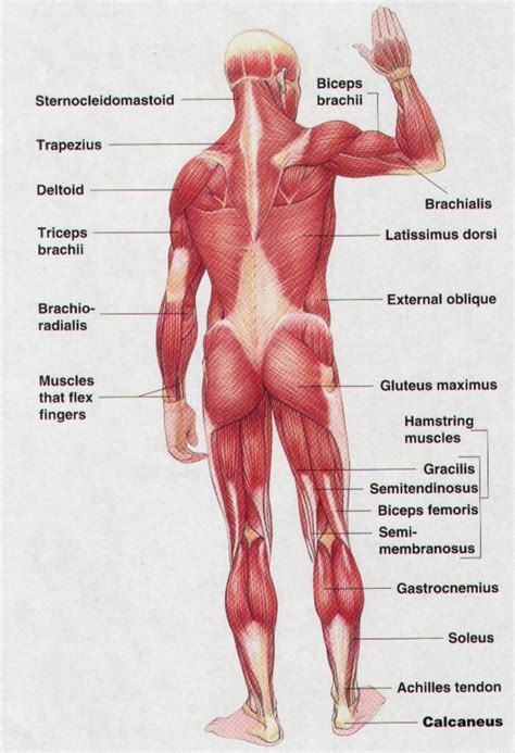 back muscles diagram leg muscles diagram labeled diagram of anatomy