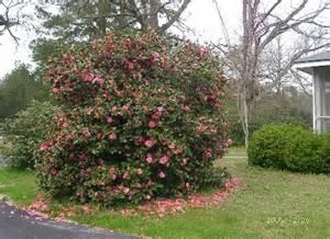 should i prune my camellia japonicas into trees secrets