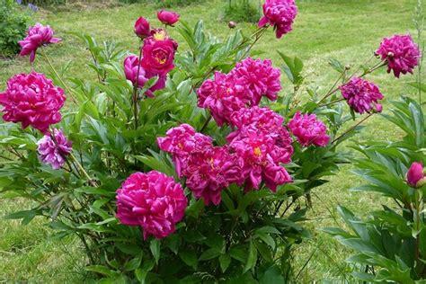peonie fiore peonie piante da giardino fiori peonia