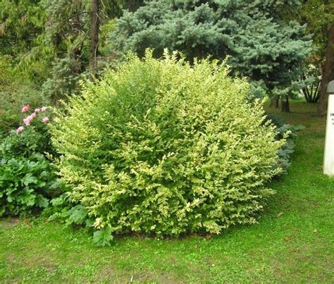 cespugli giardino piante per aiuole piante da giardino scegliere le
