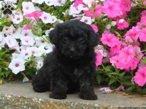 teacup yorkie poo puppies for sale in pa yorkie poo puppy for sale from quarryville pa puppies for