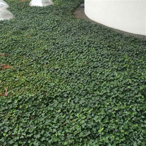 potted ivy plants  sale   prices  ireland shop