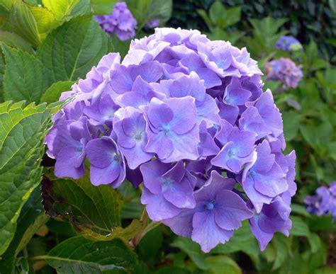 imagenes de hortencias blancas foto de hortensias imagen de hortensias gigante fotos