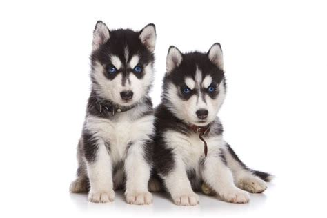 husky puppy care husky characteristics care daily puppy