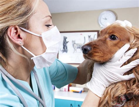 parainfluenza dogs what is the difference between the canine influenza virus and the parainfluenza virus