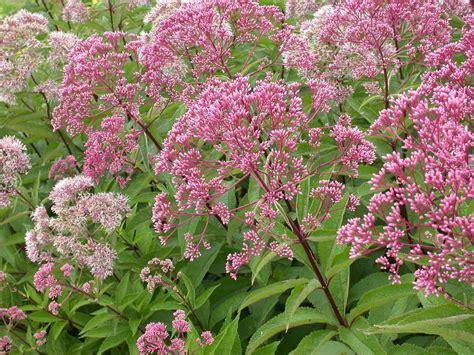 joe pye weed snetsinger butterfly garden