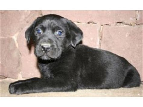 labrador puppies for sale in ct black labrador puppies for sale in ct