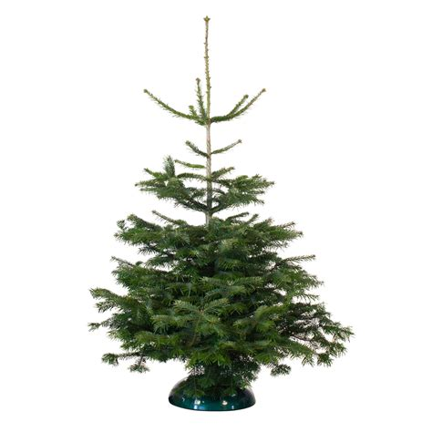 real christmas trees bq b q tree deal real nordman fir on sale for just 15