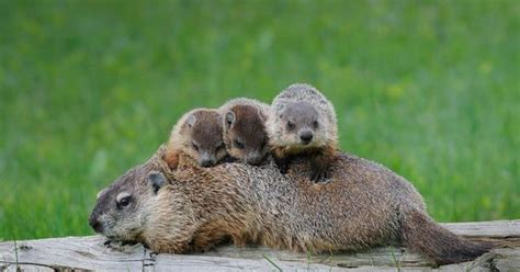 groundhog day type they are groundhogs a type of marmot a so