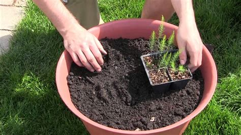 asparagus container gardening how to grow asparagus in containers complete growing