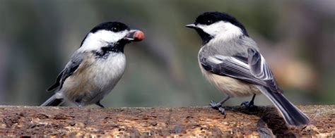 chickadee mating calls chickadee auditory processing