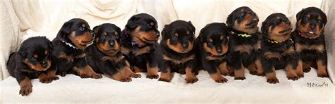 rottweiler breeders in northern california welcome to the home of haustier rottweilers