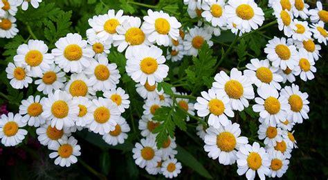 fiore camomilla camomilla un erba officinale dalle infinite propriet 224