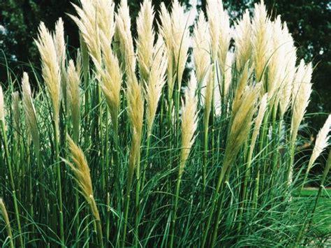 Grass Varieties by Ornamental Grasses And Grass Varieties Hgtv