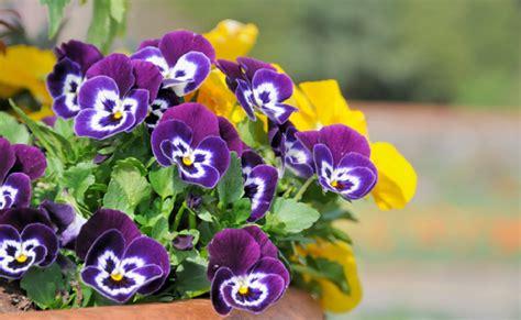 viole pensiero in vaso viole pensiero come coltivarle e curarle leitv