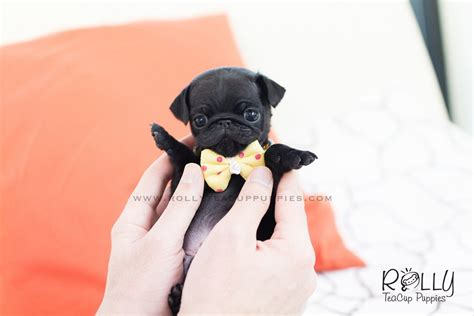 teacup pug for sale near me puppies available for adoption near me pets world