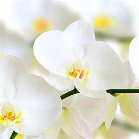 how to take care of your phalaenopsis orchid pollennation