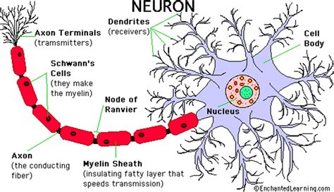 simple neuron diagram subcortical structures psychology 3313 with wenk at the
